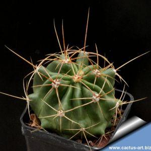 Ferocactus echidnae Metztitlan, Hidalgo, Mexico