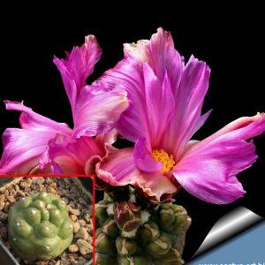 "Thelocactus bicolor ""inermis"" (own roots)"