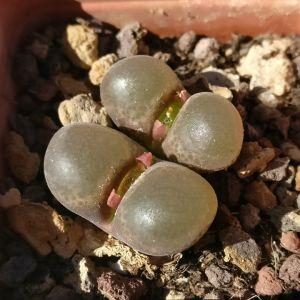 Ophthalmophyllum schlechteri (Conophytum)