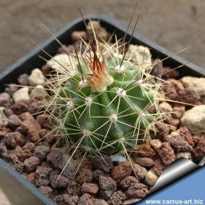 Echinocereus coccineus SB344 Sandoval County, New Mexico, USA