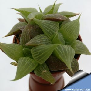 Haworthia retusa v. acuminata