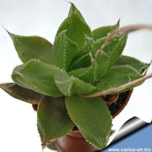 Haworthia herbacea X cymbiformis