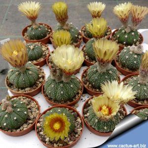 Astrophytum asterias