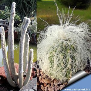 Cephalocereus senilis (Old Man Cactus)