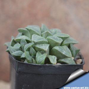 Haworthia pygmaea CC2726
