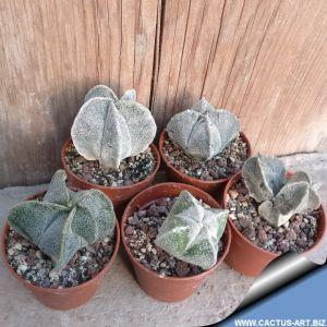 Astrophytum myriostigma hybrid (variable)