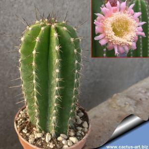 Neobuxbaumia euphorbioides (Rooksbya euphorbioides)
