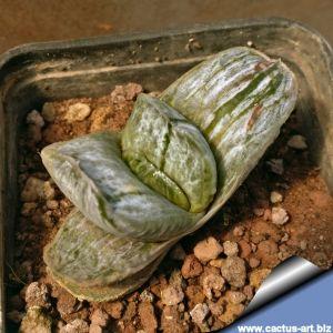 Gasteria gracilis variegata ( clone 1 )