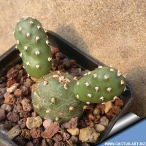 Opuntia rhodantha, Torrey, DW