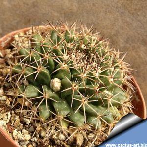 Mammillaria heyderi v. meiacantha SB443, Brewster County, Texas, USA
