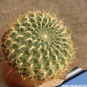 Sulcorebutia torotorensis KK1212 ,Arque, Bolivia