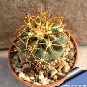 Discocactus hybrid