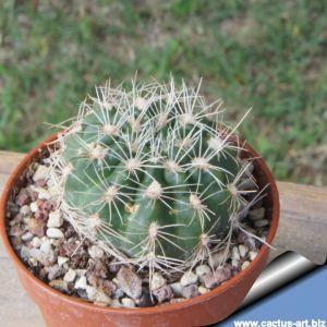 Gymnocalycium bruchii (big form)