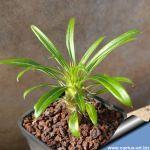 Pachypodium lamerei v. ramosum (thin leaf form)