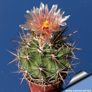 Ferocactus santamariae SB1237 Puerto  San Carlos, Baja California Sul, Mexico