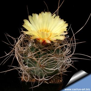 Astrophytum capricorne v. senilis nudum