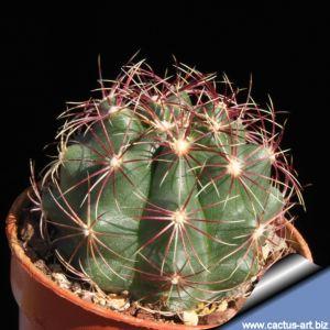 Thelocactus aff. bicolor PA.351