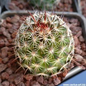 Mammillaria sheldonii DC 752 Ortiz Son.