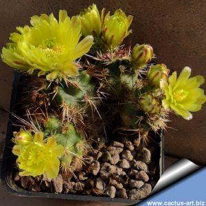 Echinocereus davisii (multiheads)