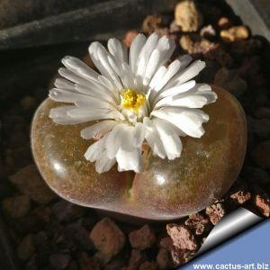 Ophthalmophyllum nordenstamii (Conophytum) Holtivier