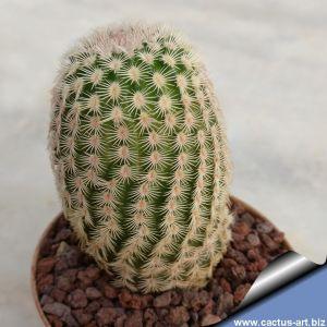 Echinocereus primolanatus SB1037 Cuatrocienegas, Coahuila, Mexico