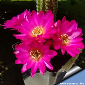 Chamaecereus hybrid (Chamaelobivia) cv. LINCOLN HAPPY THOUGHT