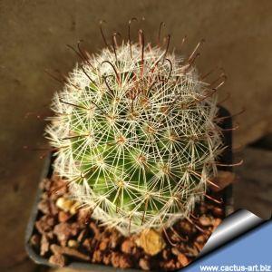 Mammillaria microcarpa SB166 Caborca, Sonora, Mexico