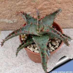 Aloe castillionae hybrid (mixed patterns)