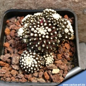 Copiapoa tenuissima forma mostruosa (clone A)