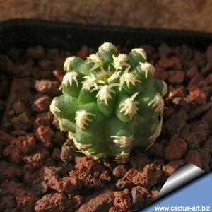 Pygmaecereus bieblii