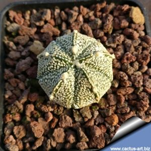 Astrophytum CAPAS x CO variegato (Ast. capricorne x asterias x coahuliense)