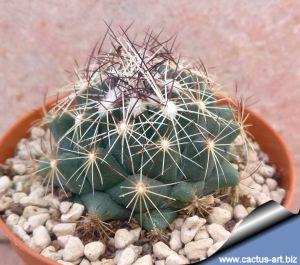 Coryphantha pseudonickelsae