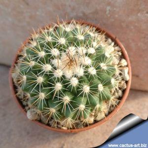 "Mammillaria rubrograndis ""multiprolifera"""