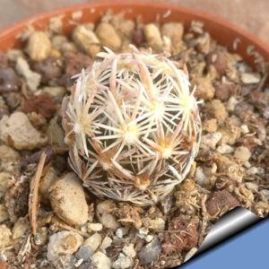 Escobaria minima SB423 Texas, USA(Brewster County)