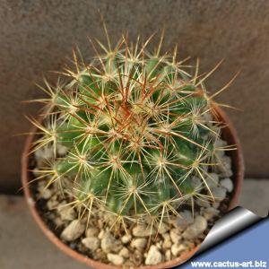Mammillaria rekoi ML370  'krasuckae' La Reforma, Oaxaca, Mexico