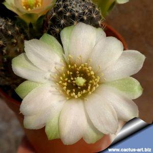 """Rebutia pygmaea cv. AVOCADO CREAM (Mediolobiva pygmaea """"CREME"""")"""