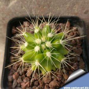 "Echinocactus grusonii ""subinermis"" Zimapán (Thin spines form, from habitat)"