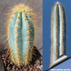Pilosocereus azureus (Pilosocereus pachycladus)