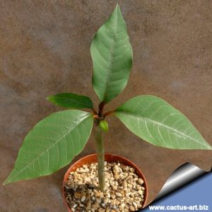 Plumeria rubra hybrid (Red frangipani)