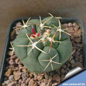 Thelocactus hexaedrophorus San Bartolo, San Luis Potosi, Mexico