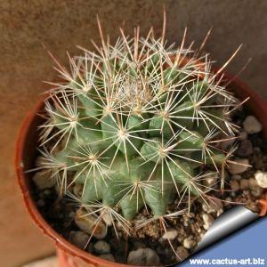 Mammillaria heyderi v. bullingtoniana SB604 Cuatrocienegas, Coahuila, Mexico
