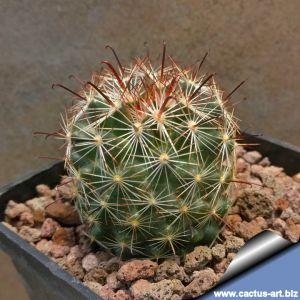 Mammillaria meridiorosei SB727 Santa Cruz County, Arizona, USA (M. wrightii v. wilcoxii 'mediorosei')