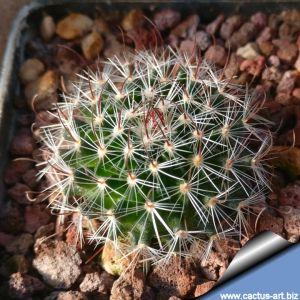 Echinofossulocactus zacatecasensis L738, Cinco de Mayo 2200m, Coahuila, Mexico