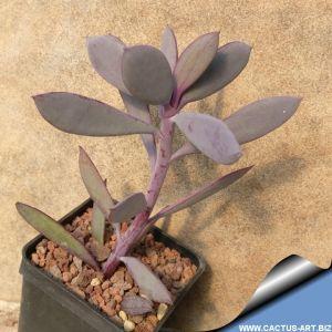 Senecio crassissimus (Vertical Leaf Senecio)