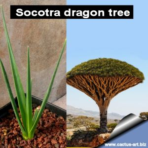 Dracaena cinnabari (Socotra dragon tree)