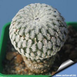 Turbinicarpus pseudopectinatus (Pelecyphora pseudopectinata)