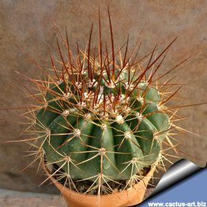 Melocactus sp. aff. rubrisetosus BB79, Milagres, Bahia, Brazil.