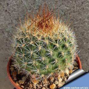 Rebutia nogalesensis (magaiensis) FR768 Tarvita, Río Nogales, Chuquisaca, Bolivia