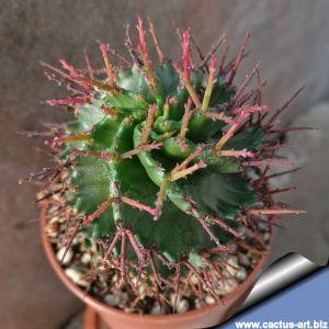 Euphorbia horrida hybrid cv. Spiralis (Spiral form)