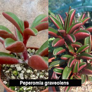 Peperomia graveolens (Ruby glow)